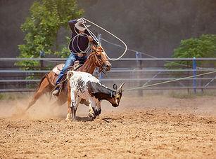 Men on horseback lassoing a running calf