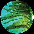 seaweed-02.png