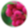 lilly pilly-02.png