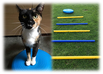 cat physiotherapy, feline physiotherapy, wobblecushion, Derbyshire Vet Physio, DerbyVetPhysio,