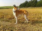 greyhound rehabilitation, lurcher rehab, canine rehab, canine physio
