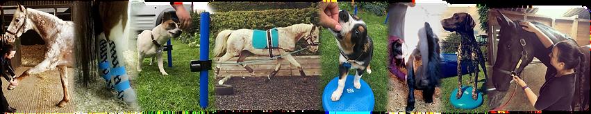 veterinary physiotherapy and rehabilitation