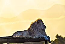 lion4.jpeg