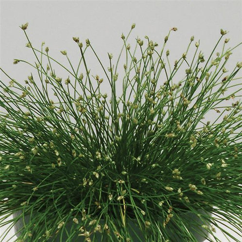 Grass - Isolepis c. Live Wire