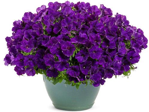 Petunia Supertunia Royal Velvet