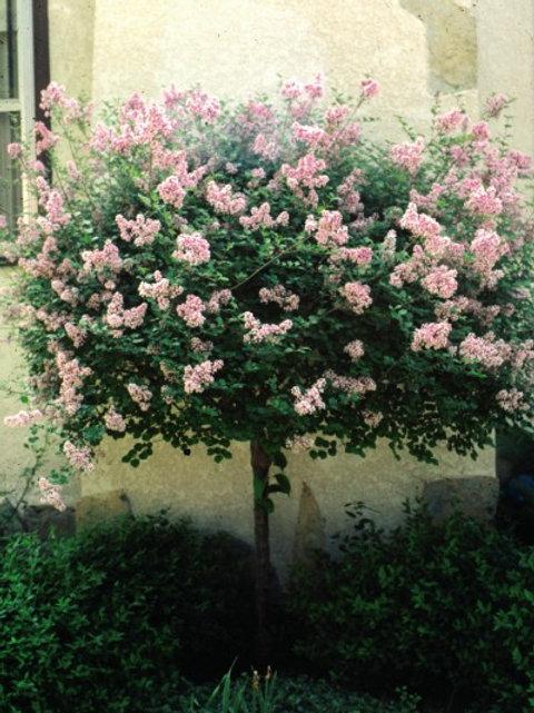 Syringa m. Dwarf Korean Lilac Tree