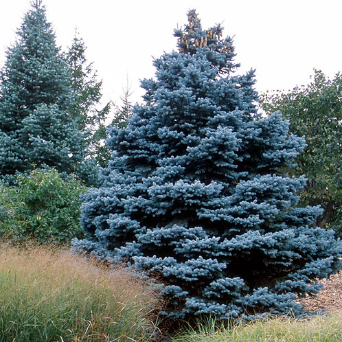Picea pungens Baby Blue (Spruce)