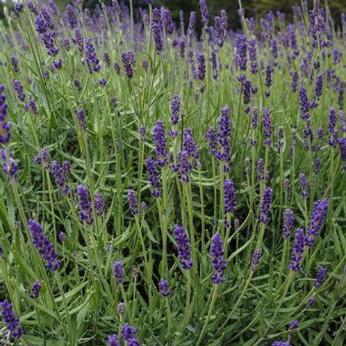 Herb - Lavender Spanish