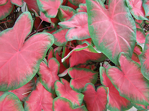 Caladium Frieda Hemple (Red)