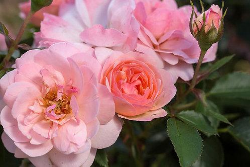 Rosa Easy Elegance Calypso