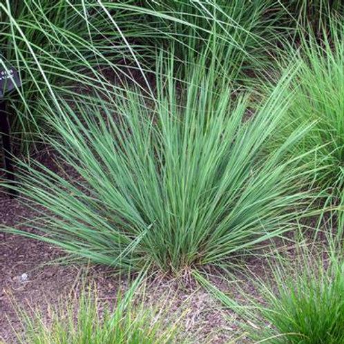 Schizachyrium scoparium / Little Bluestem