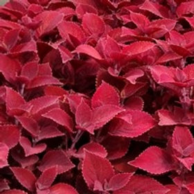 Coleus Ruby Slippers