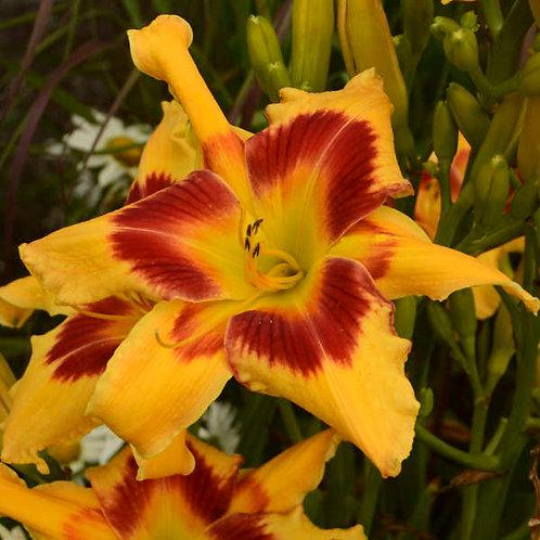Daylily - Tiger Swirl