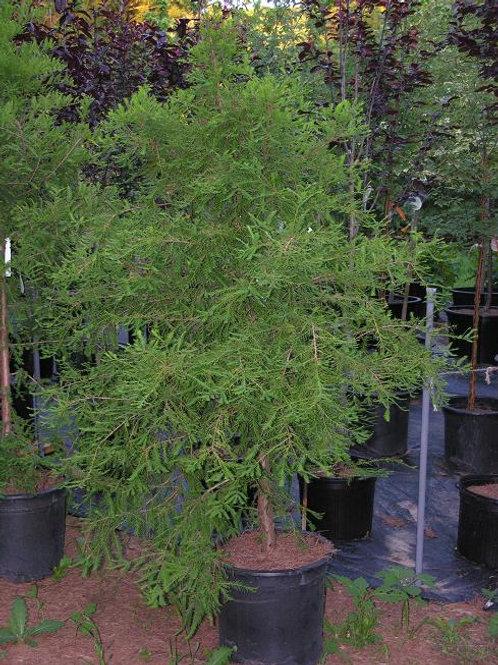 Taxodium distichum / Baldcypress