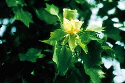 Liriodendron tulipifera / Tuliptree