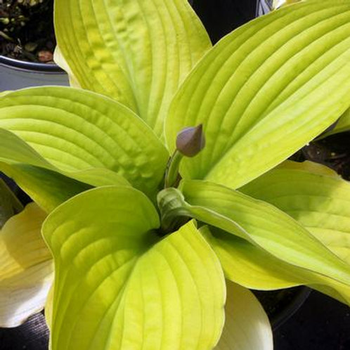Hosta Coast to Coast