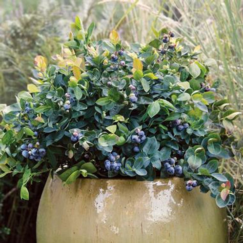 Blueberry - Peach Sorbet