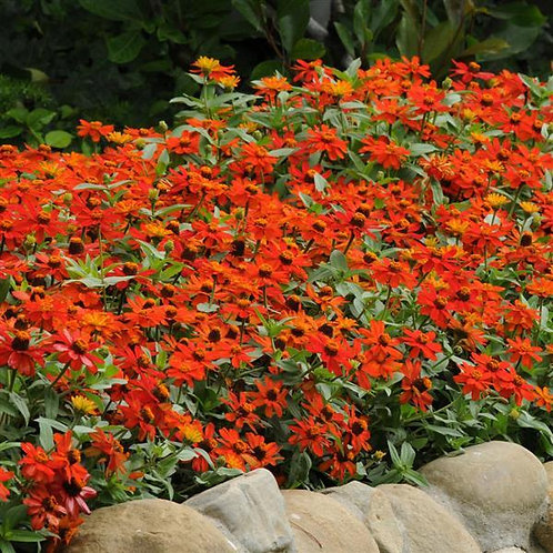 Zinnia Double Zahara Fire