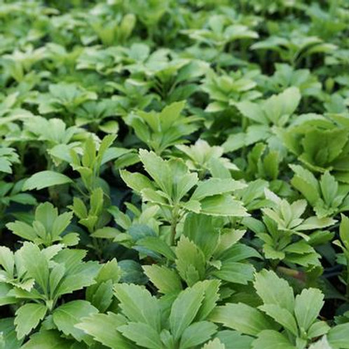 Pachysandra t. Green Carpet