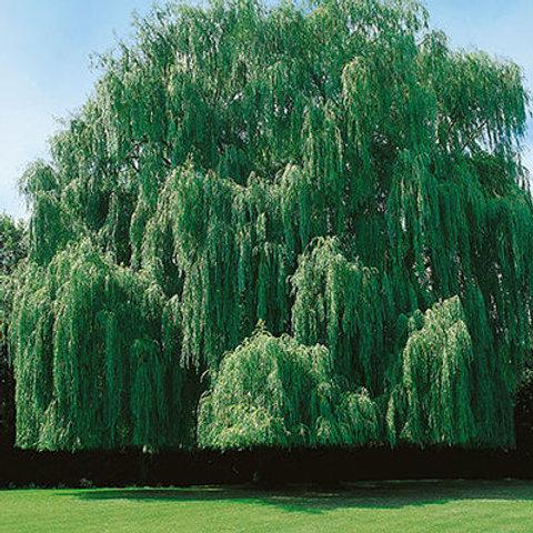Salix a. Tristis  / Niobe Weeping Willow