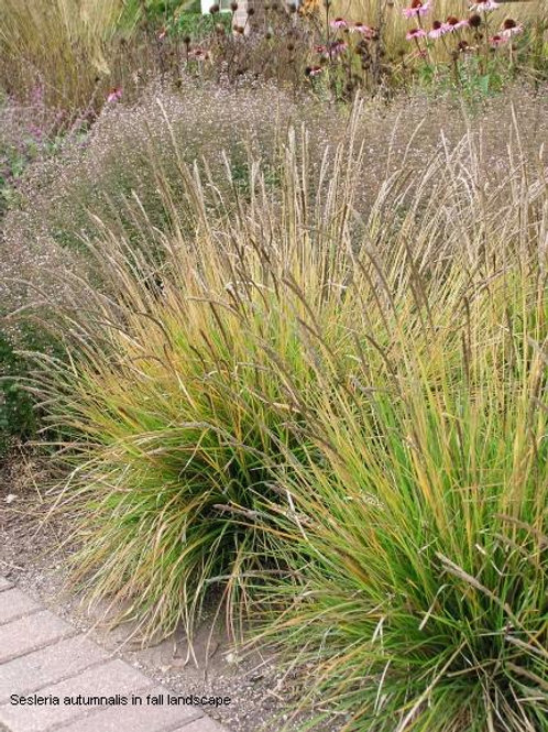 Sesleria autumnalis / Autumn Moor Grass