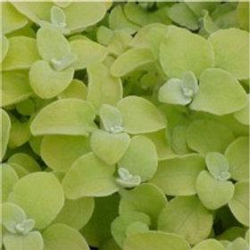 Helichrysum Lemon Licorice