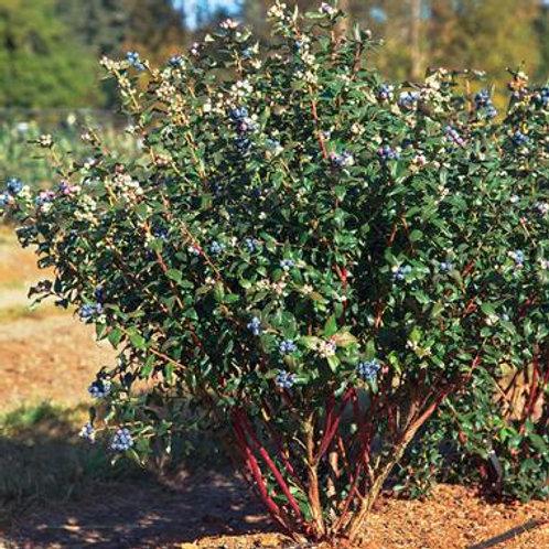 Blueberry - Perpetua