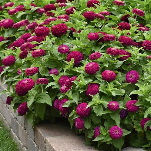 Zinnia Zesty Purple