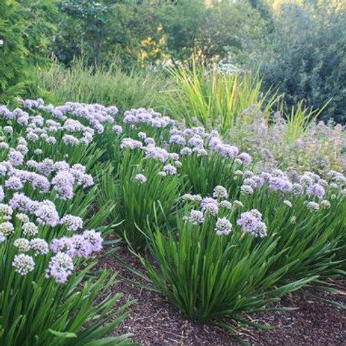 Allium Summer Peek-A-Boo