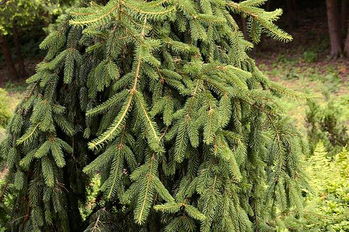 Picea a. Pendula (Weeping Norway Spruce)
