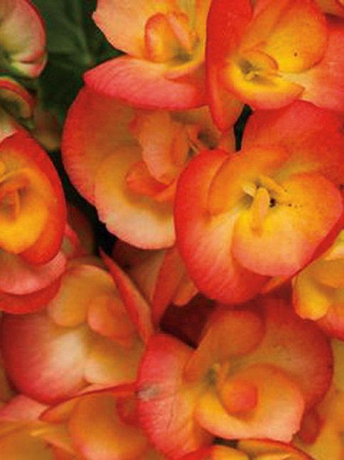 Begonia reiger Amstel Carneval