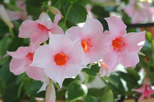 Mandevilla SunParasol Cream Pink