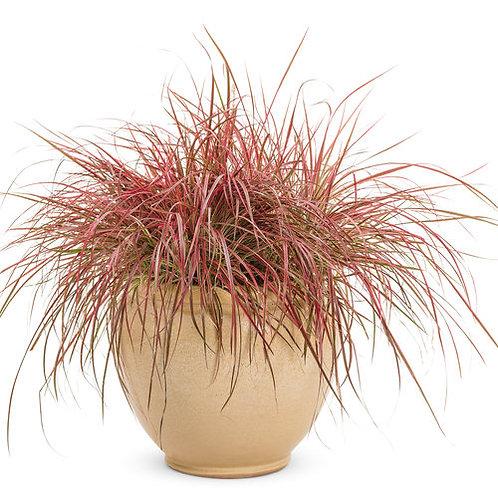 Grass - Pennisetum a. Fireworks