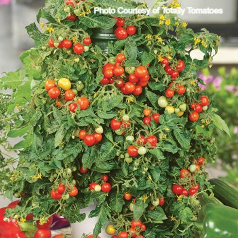 Tomato - Patio Choice Red Hybrid