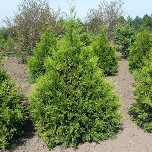 Thuja occ. Brabant (Arborvitae)