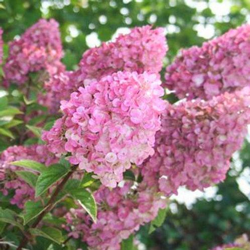 Hydrangea p. Strawberry Sundae