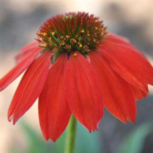 Echinacea Sombrero Salsa Red