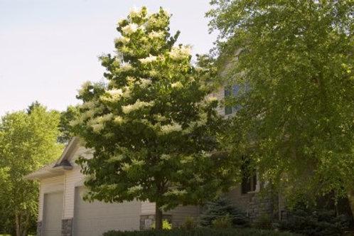 Syringa r. Ivory Silk / Japanese Tree Lilac