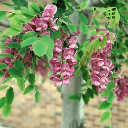 Robinia p. Purple Robe / Locust