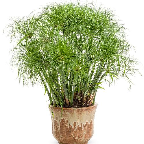 Grass - Cyperus Prince Tut