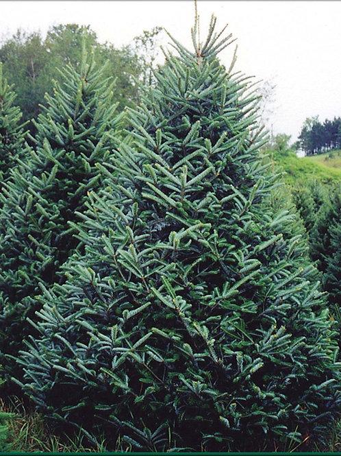 Christmas Tree - Fraser Fir