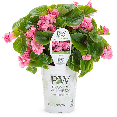 Begonia s. Double Up Pink
