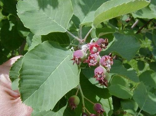 Amelanchier x g. Autumn Brilliance / Serviceberry