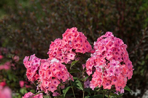 First Editions Phlox paniculata Series