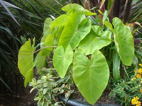 Colocasia Royal Hawaiian Maui Gold