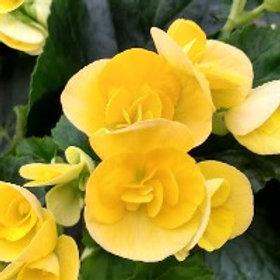 Begonia reiger Amstel Blitz