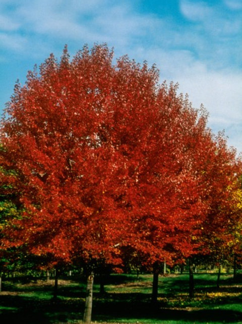 Acer r. Brandywine / Red Maple
