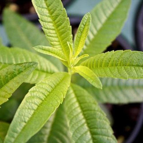Herb - Lemon Verbena