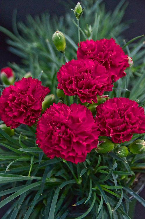 Dianthus Cranberry Cocktail
