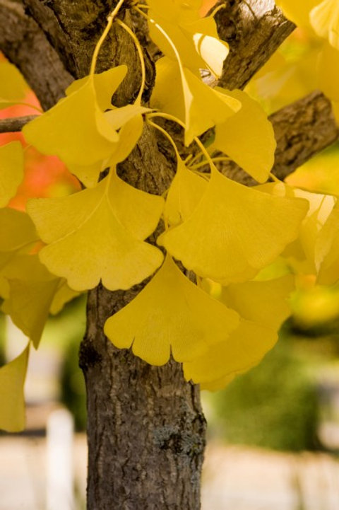 Ginkgo b. Autumn Gold